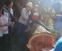丸太の伐採 東栄町